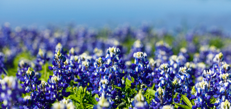bluebonnet: Close up view of beautiful bluebonnets along a lake in the Texas Hill Country.