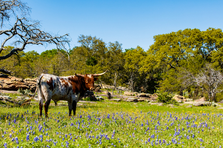 longhorn cattle: A beautiful Watusi Longhorn mix bull standing proud in a bluebonnet field on a ranch in the Texas Hill Country.