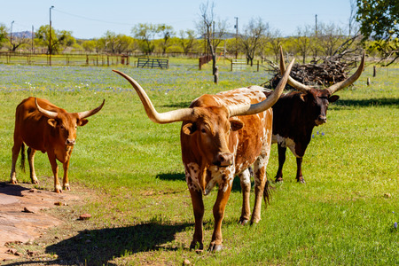 longhorn cattle: Cattle grazing in a field on a ranch in the Texas Hill Country.