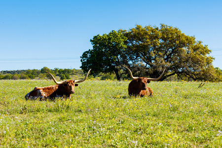 longhorn cattle: Texas longhorn cattle resting in a field on a ranch in the Texas Hill Country.