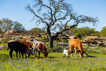 longhorn cattle: Cattle grazing in a bluebonnet field on a ranch in the Texas Hill Country.