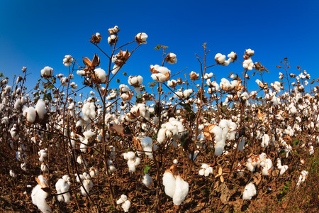 bolls: Fish eye view of a Alabama cotton field. Stock Photo