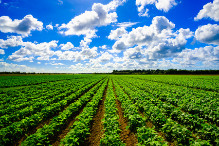Landscape view of a freshly growing agriculture vegetable field.