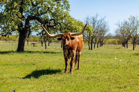 longhorn cattle: A beautiful Longhorn in a field on a ranch in the Texas Hill Country. Stock Photo