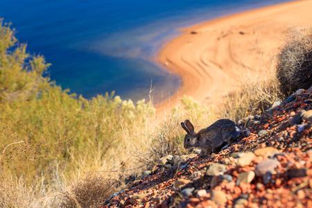 lake powell: Cute little rabbit along Lake Powell in Utah.