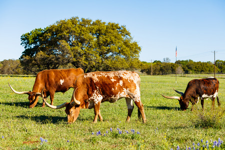 Texas longhorn cattle grazing in a field on a ranch in the Texas Hill Country.