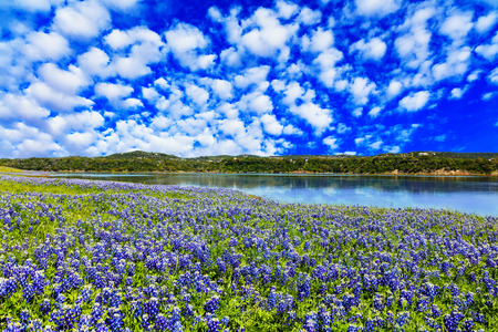 Beautiful bluebonnets along a lake in the Texas Hill Country. Фото со стока