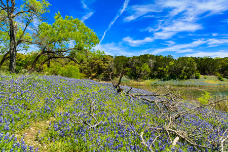 Beautiful bluebonnets along a lake in the Texas Hill Country. Stock Photo