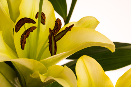 Close up view of a oriental lily flower. Stock Photo
