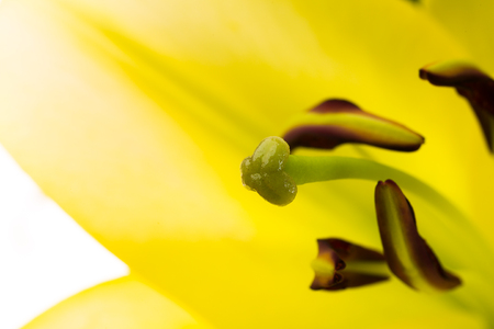 Close up view of a oriental lily flower isolated on a white background.
