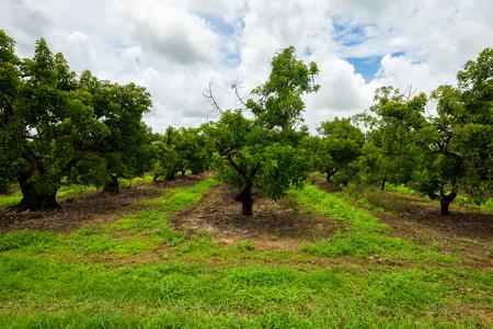 Landscape view of a agricultural avocado grove. Stok Fotoğraf
