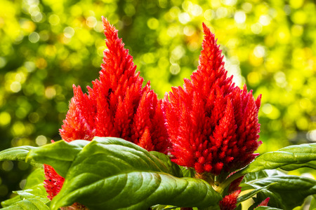 Close up view of a red celosia flower in bloom.