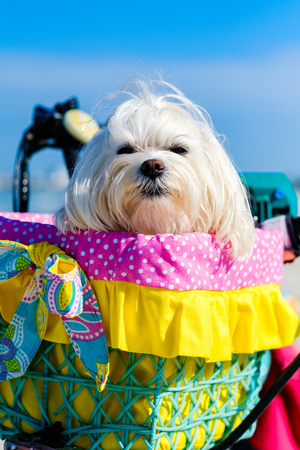 Cute female shih tzu dog portrait sitting in a bicycle basket at the beach.