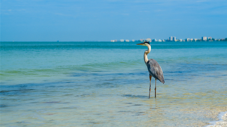 Majestic Great Blue Heron on the shore in Fort Myers Beach on the west coast of Florida.