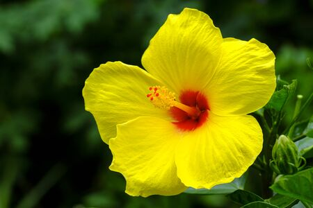 Close up view of a pretty hibiscus flower.