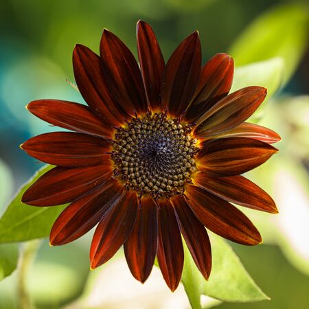 Close up view of a beautiful black velvet sunflower in bloom. Stok Fotoğraf