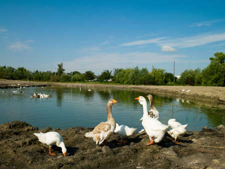 swimming bird: Summer landscape village and ducks in the foreground Stock Photo
