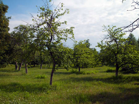 Orchard green against the blue... Stock Photo - 11840361
