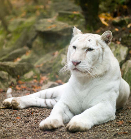 albino: white tiger in a prone position on the nature Stock Photo