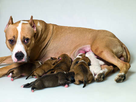 fighting breeds dogs feed their pups photo