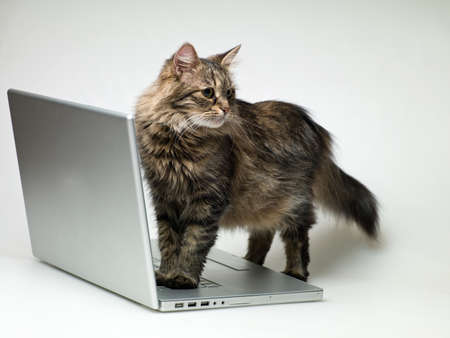 domestic cat is worth two paws on a laptop