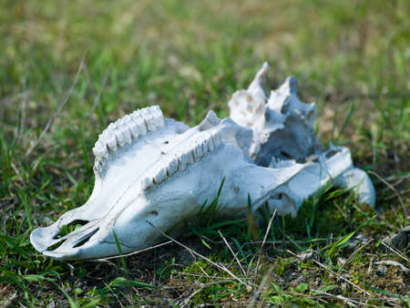 Photos of animal bones lying on the grass photo