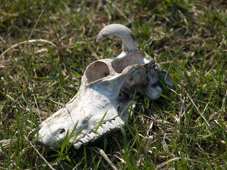 Photo skull bone cows on green grass Stock Photo - 17668568