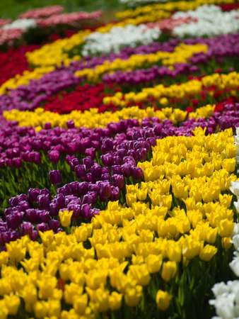 Photo a leek tulips of different colors look beautiful photo
