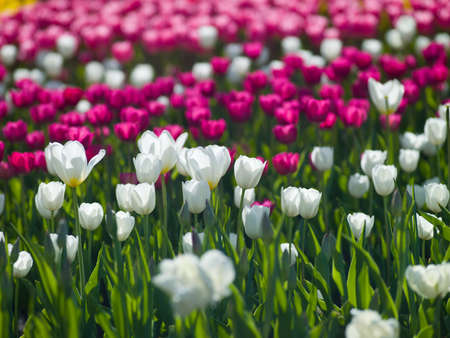 Photo a leek tulips of different colors look beautiful