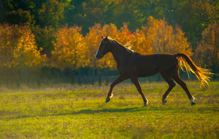 appointed: powerful of beautiful well appointed horse at sunset in a field Stock Photo