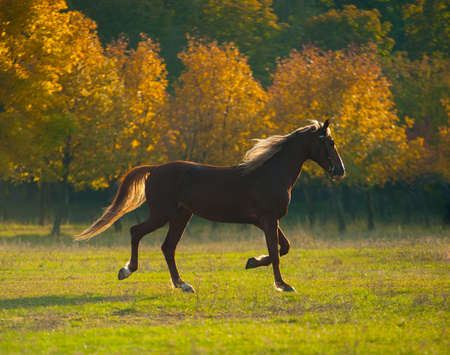 autumn horse: powerful of beautiful well appointed horse at sunset in a field Stock Photo