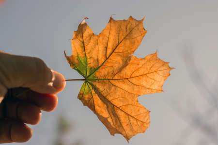 Autumn leaf in the hand of man on nature photo