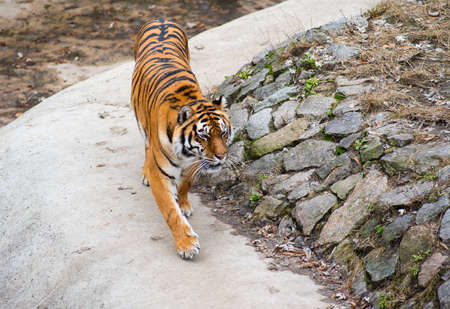 the amur: Amur tiger in the zoo outdoors Stock Photo