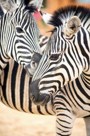 Two zebra zoo outdoors