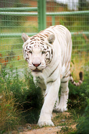 white tiger in the zoo outdoors