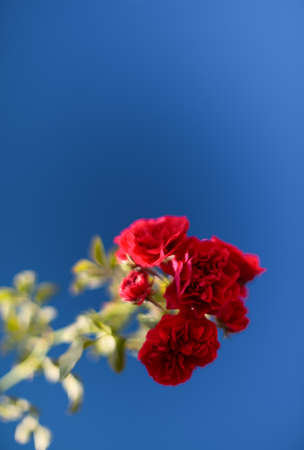 geranium color: Red flower on blue sky background Stock Photo