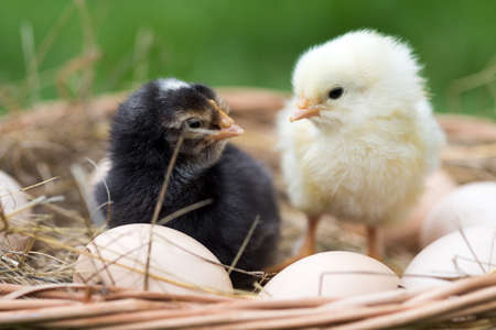 Little chickens and chicken eggs in nature