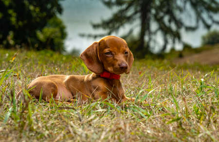 A small dog breed Dachshund in nature.