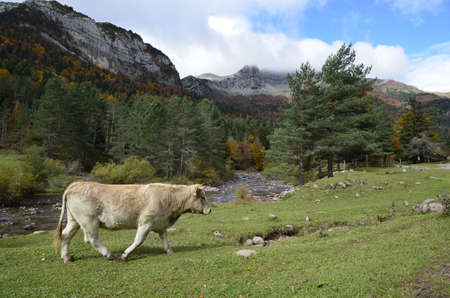 alp: Landscape with cows and Pyrenees mountains