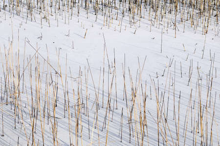 reed in frozen water in winter season Stock Photo - 11844149