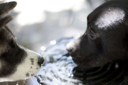 two dogs sharing water Stock Photo