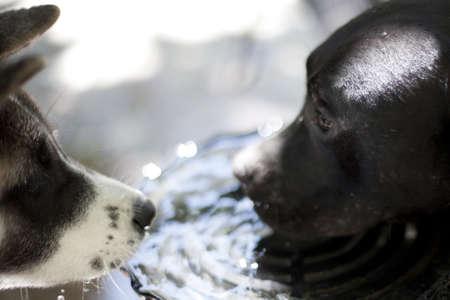 two dogs sharing water Standard-Bild