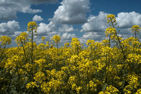 mustard fields photo