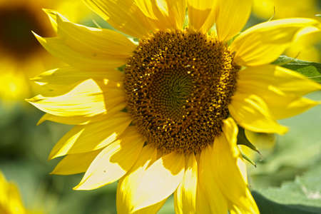 sunflower petals in summer  Stock Photo