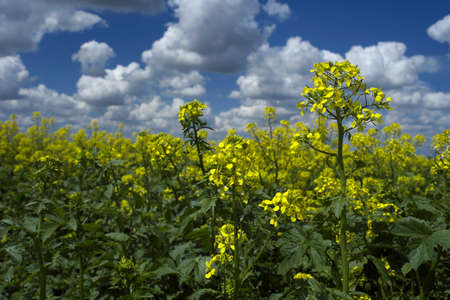 mustard flower fields photo