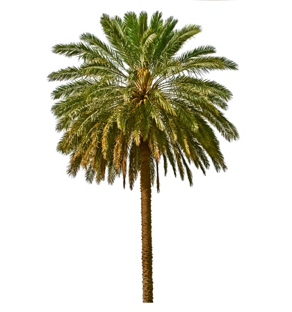 on palm tree: Palm tree isolated on white background  Canary date palm tree  Phoenix canariensis  native to tropical areas of Canary islands and North Africa