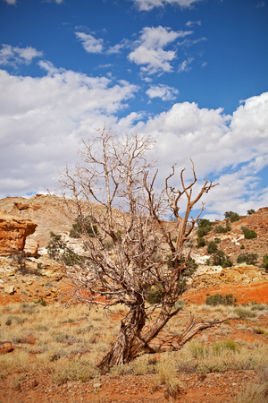 southwest usa: Tree in the red desert of Southwest USA, Capitol Reef National Park in Utah on a beautiful summer day wiyh blue sky and clouds and colorful red rocks and sand of the desert