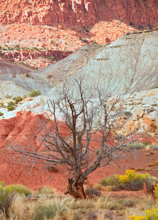 desert scenes: Tree in the red desert of Southwest USA, Capitol Reef National Park in Utah with colorful red rocks and sand of the desert