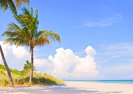 Palm trees on a beautiful sunny summer afternoon in Miami Beach Florida with ocean and blue sky in the background