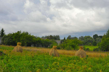 haymaking: Collected in stacks on rye meadow. Nature background.